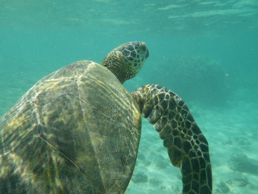 Honu! (love my Ricoh camera)