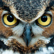 EXP_great-horned-owl_220px